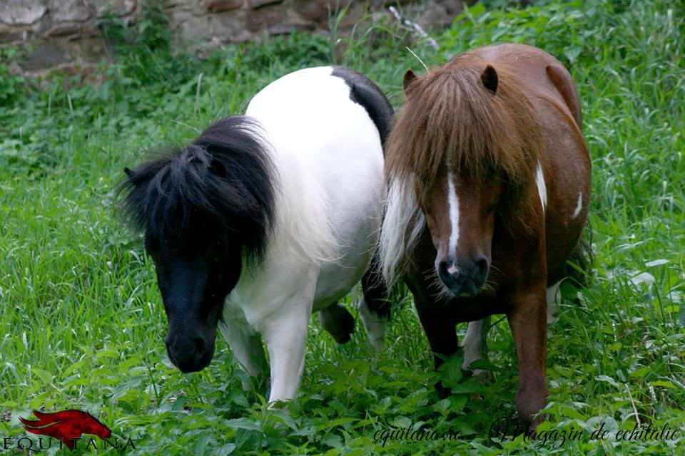 De vânzare: familie de ponei